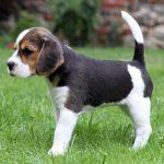 Beagle and Cavalier King Charles Spaniel Mix