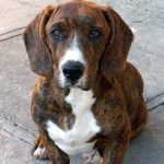 Beagle and Dachshund Mix Called