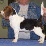 Beagle at 4 Months