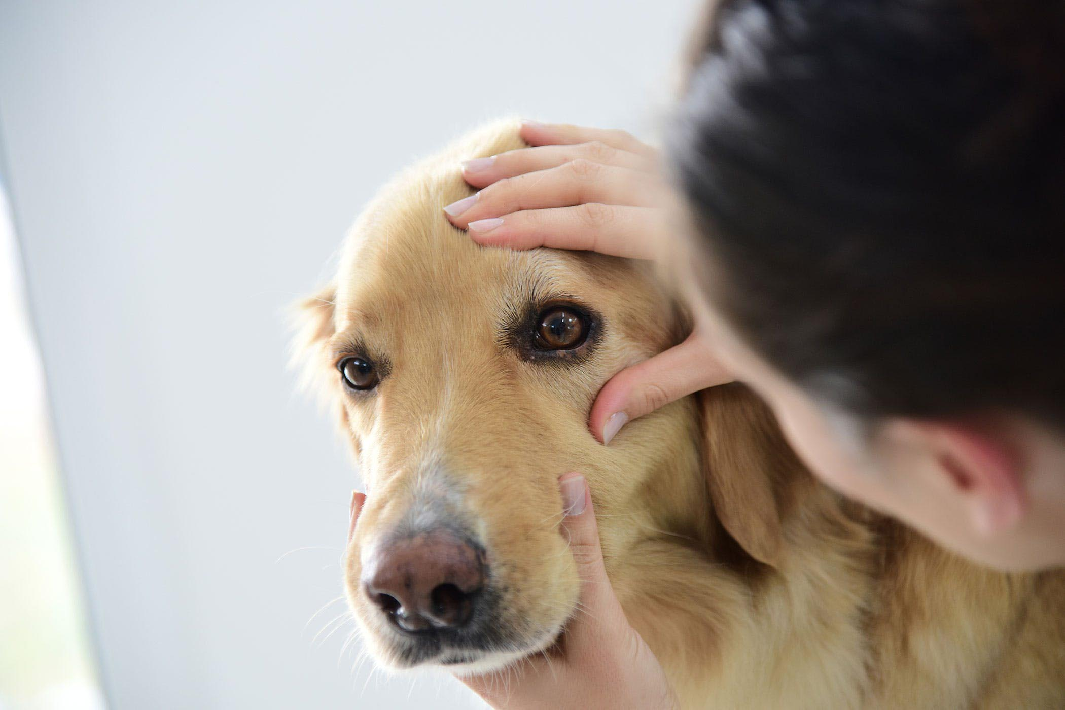 Beagle Cherry Eye Surgery