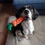 Beagle Cocker Spaniel Mix Dog