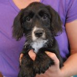 Beagle Cocker Spaniel Mix for Adoption
