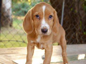 Beagle Cocker Spaniel Mix Puppies
