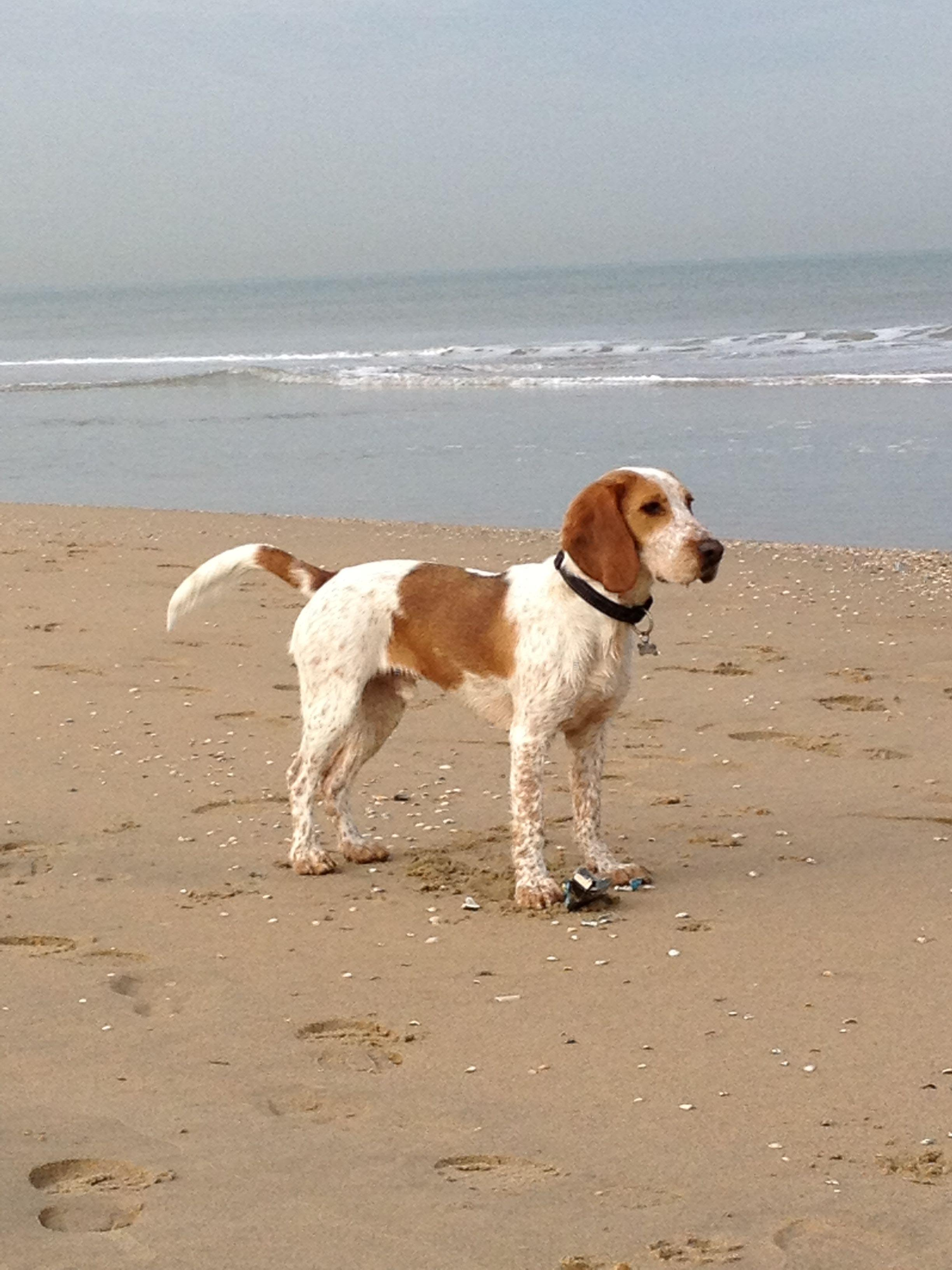 Beagle Cocker Spaniel Mix Welpen