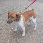 Beagle Dachshund Jack Russell Mix