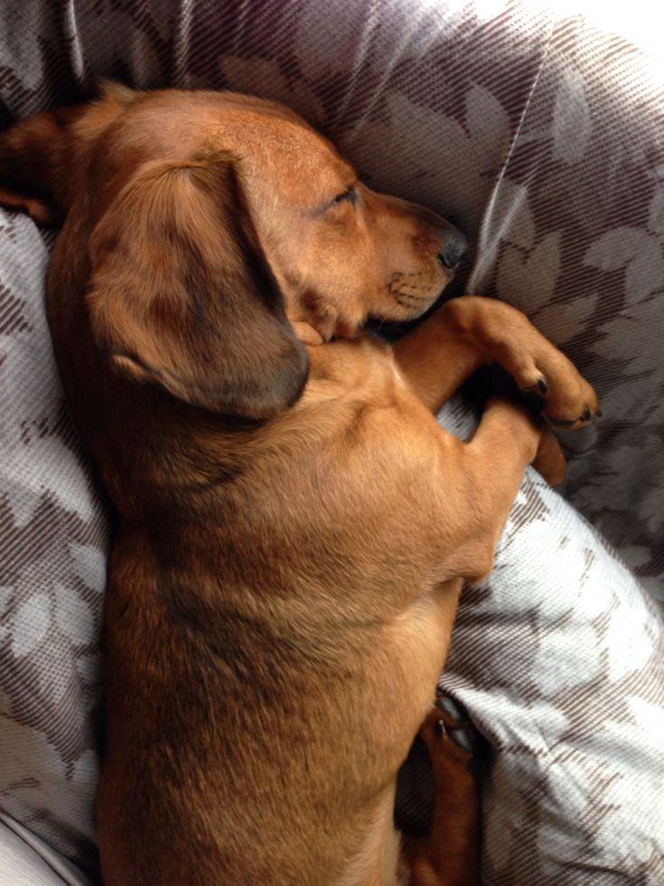 Beagle Dachshund Mix Adoption