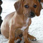 Beagle Dachshund Mix Characteristics