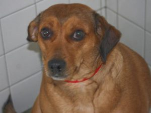 Beagle Dachshund Mix for Adoption