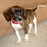 Beagle Dachshund Mix Puppies for Adoption