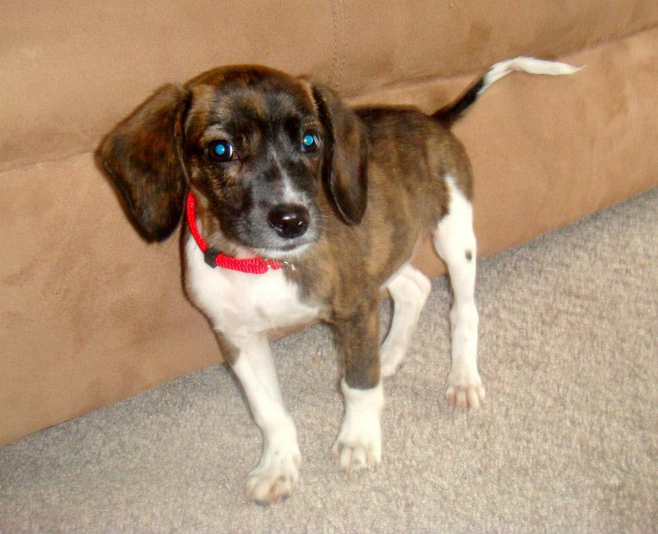 Beagle Dachshund Mix Puppies for Adoption