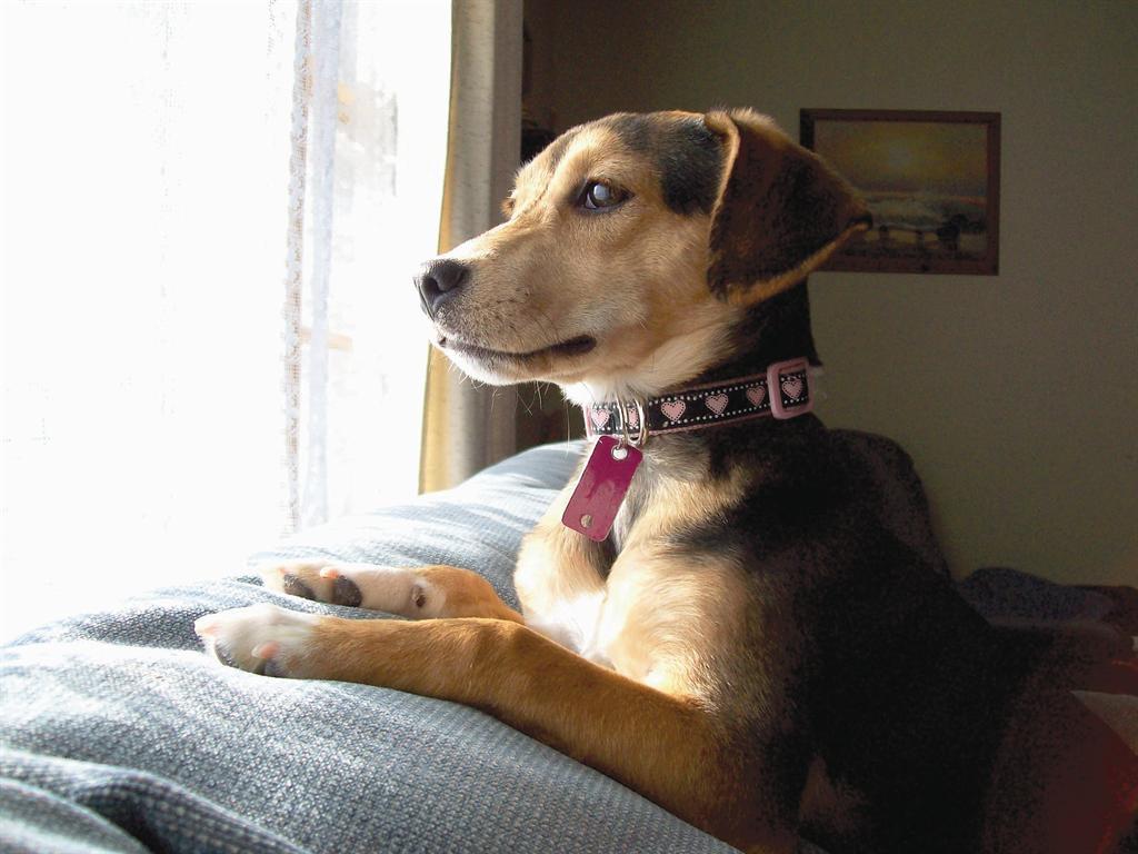 Beagle Dachshund Mix Training
