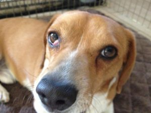 Beagle Eye Diseases