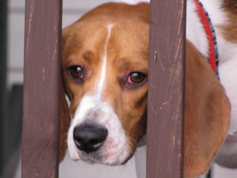 Beagle Eye Infection