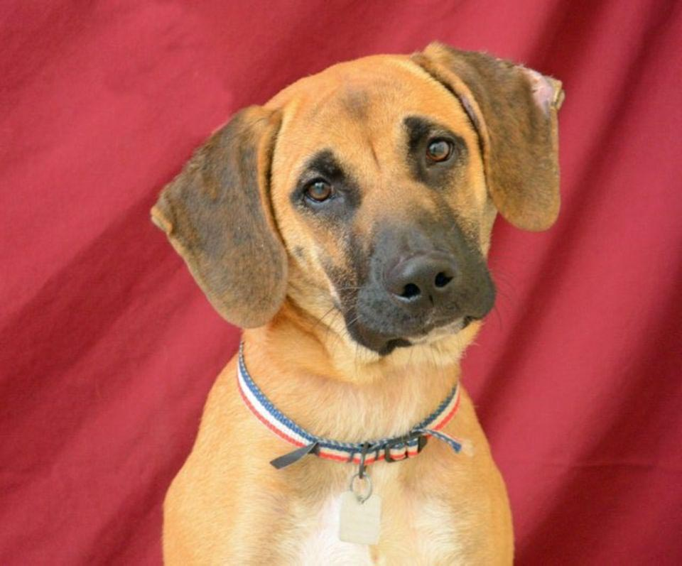 Beagle German Shepherd Mix Dog
