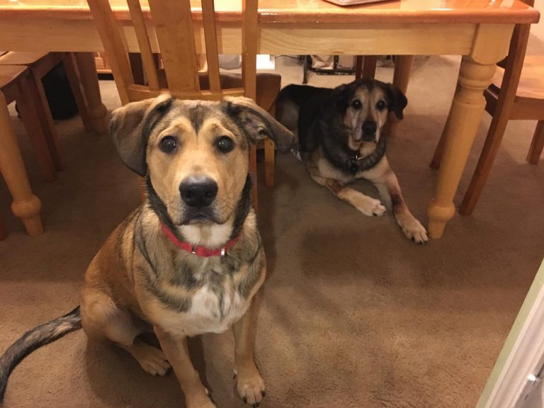 Beagle German Shepherd Mix Puppies