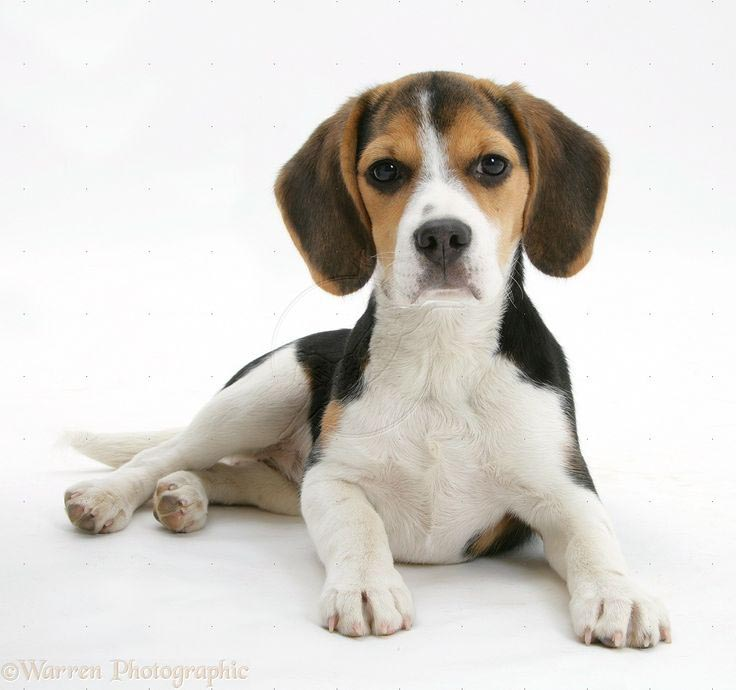 Beagle Height at 4 Months