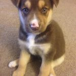 Beagle Husky German Shepherd Mix