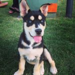 Beagle Husky Mix Characteristics