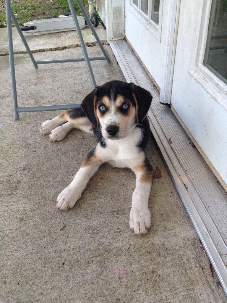 Beagle Husky Mix Dog