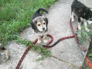 Beagle Husky Mix Info