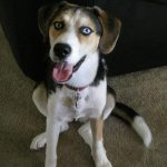 Beagle Husky Mix Information