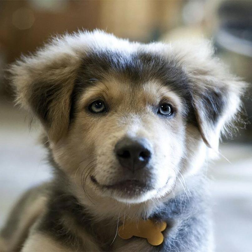 Beagle Husky Mix Shedding