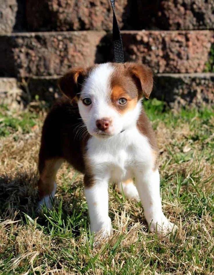 Beagle Mini Husky Mix