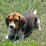 Beagle Pregnancy Duration