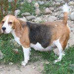 Beagle Pregnancy Week by Week