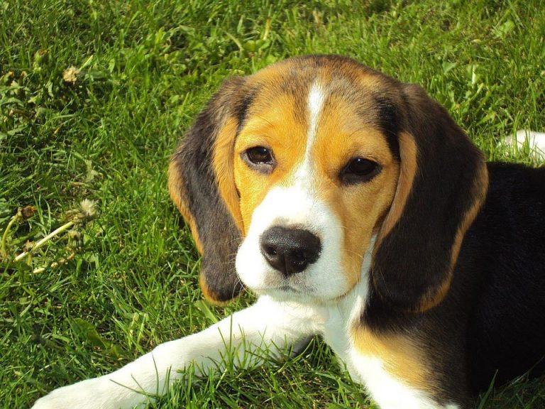 Beagle Pregnant Symptoms