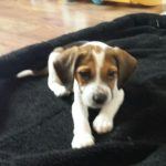 Beagle Puppies at 9 Weeks Old