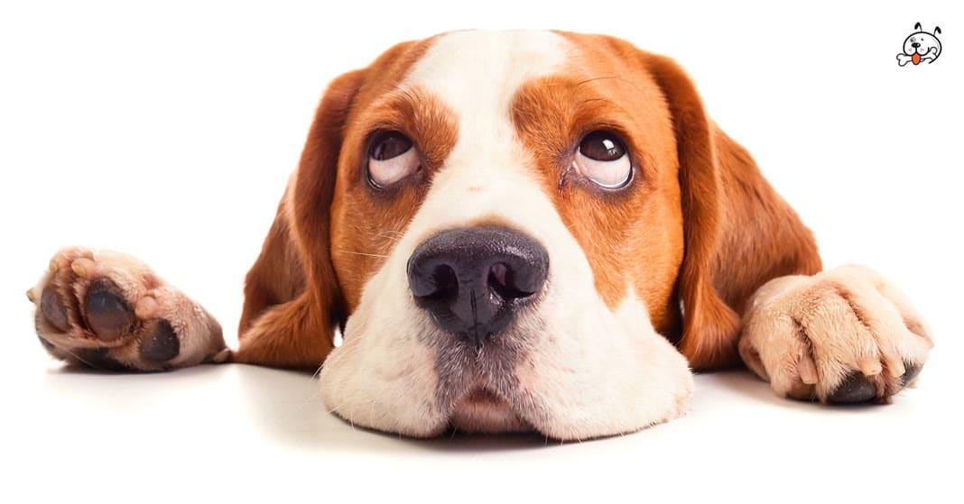 Beagle Puppy Eye Problems