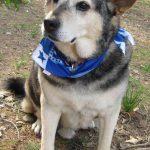Beagle Shepherd Husky Mix
