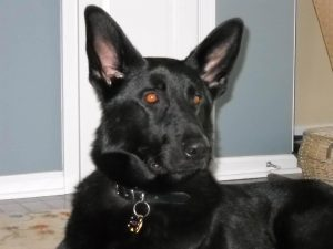 Black German Shepherd Red Eyes