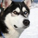 Black Husky Wolf Mix