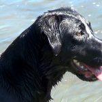 Black Labrador Retriever Swimming