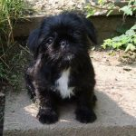 Black Pug Cross Shih Tzu