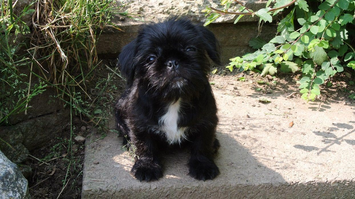Black Pug Cross Shih Tzu Dog Breed Information