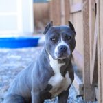 Blue Nose American Pitbull Terrier Breeders