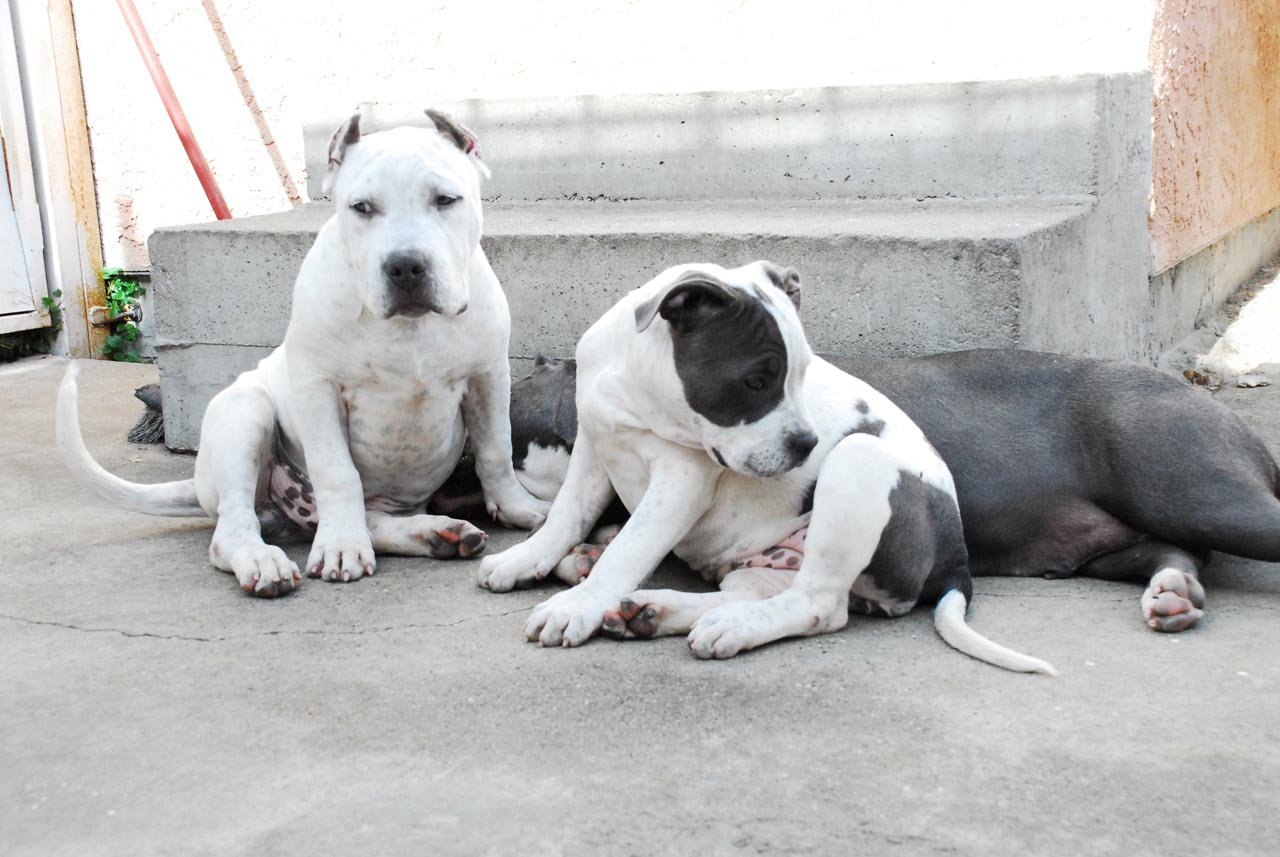 Blue Nose American Pitbull Terrier Kennels