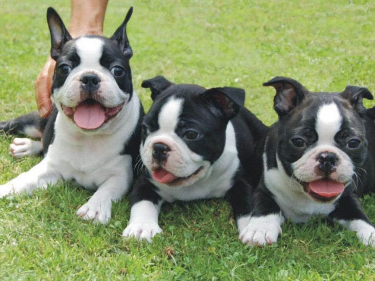 Boston Terrier and Bully Pitbull Mix