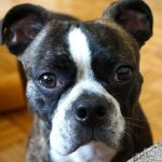 Boston Terrier Boxer Pitbull Mix