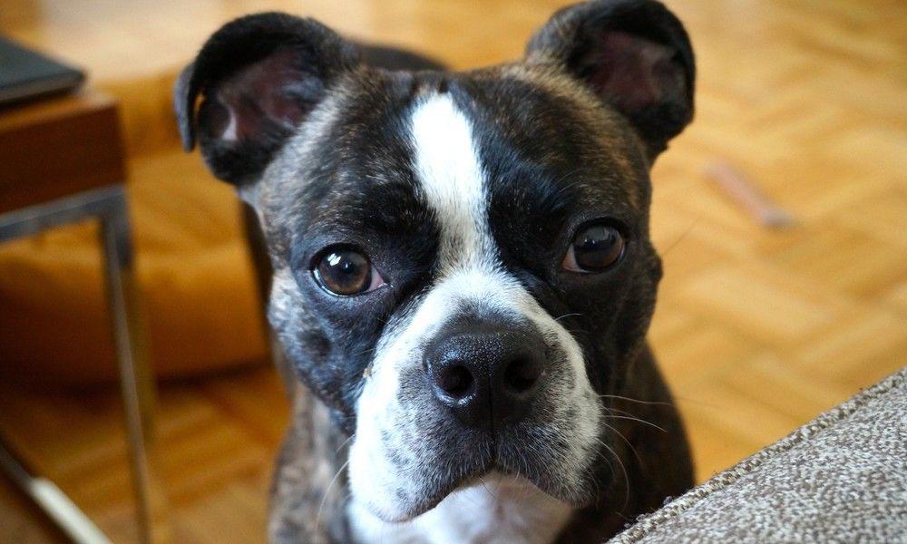 Boston Terrier Boxer Pitbull Mix