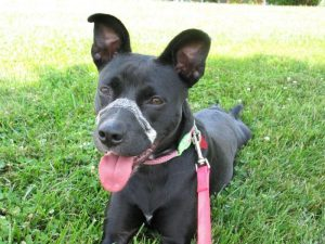 Boston Terrier Pitbull Lab Mix