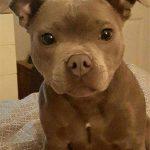 Boston Terrier Pitbull Mix Brown