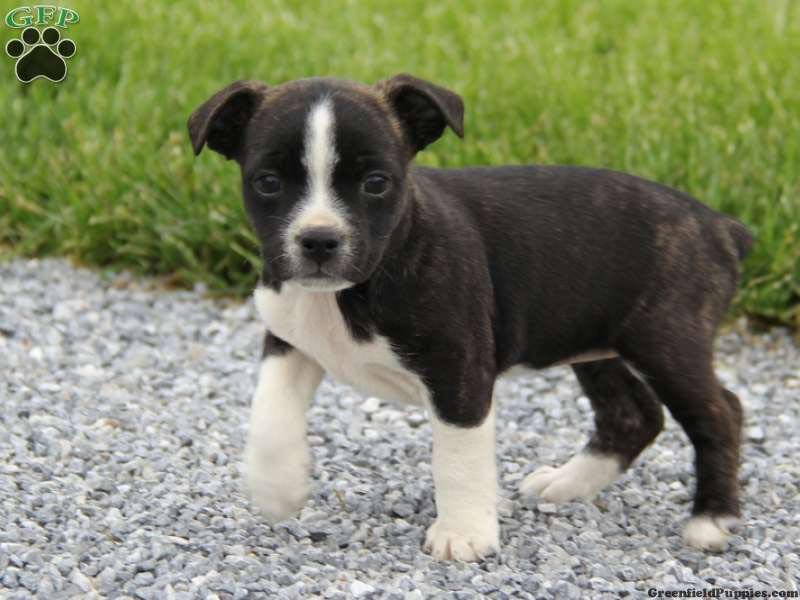 Boston Terrier Pitbull Mix