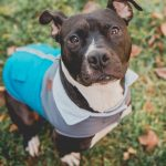 Boston Terrier Pitbull Mix for Adoption