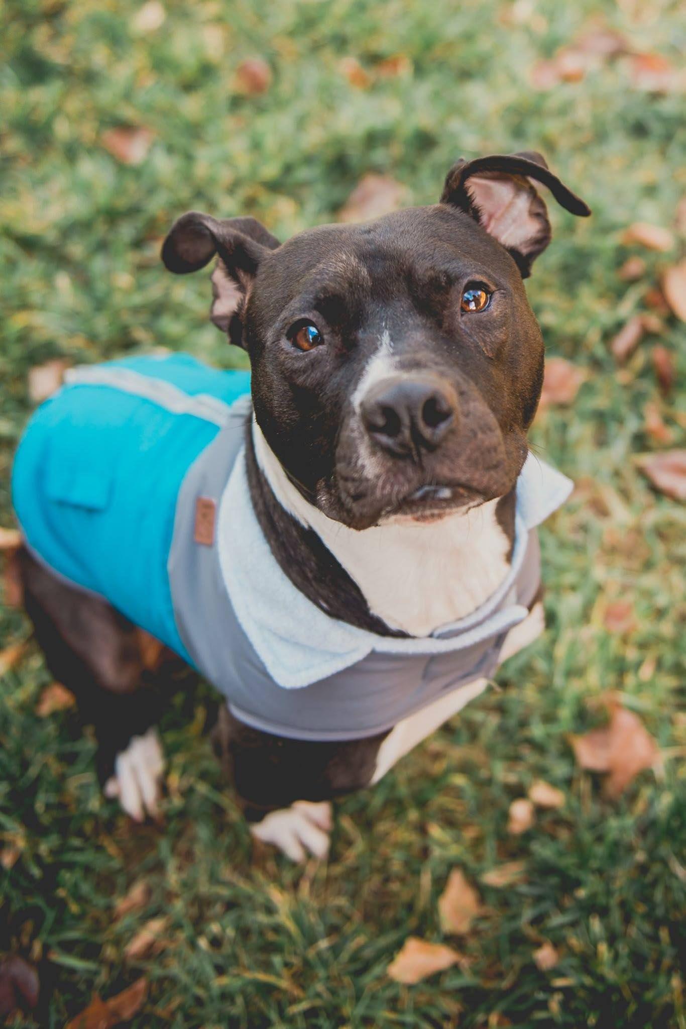 Boston Terrier Pitbull Mix for Adoption