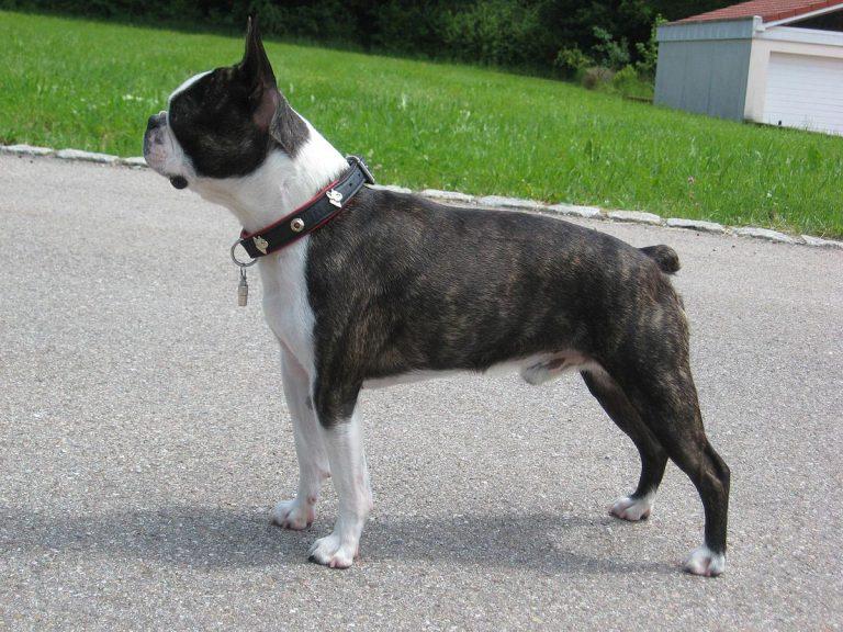 Boston Terrier Pitbull Mix Full Grown