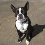 Boston Terrier Pitbull Mix Info